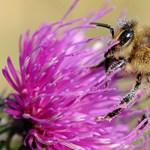 A házi méhek és darazsak jelenthetnek veszélyt