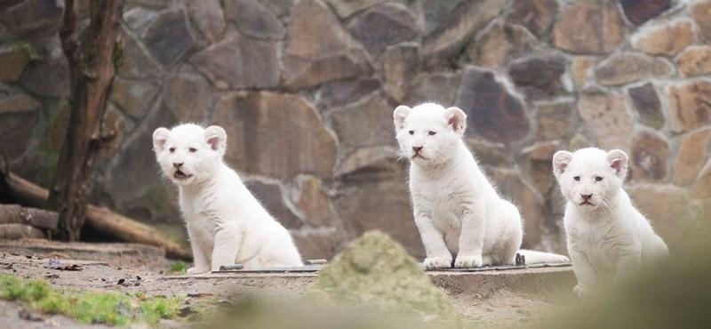 Így botladozik a három fehér oroszlánkölyök – videó