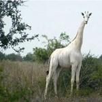Vadorzók megölték az utolsó hófehér zsiráfnőstényt Kenyában