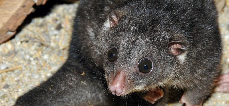 Új jövevény az állatkertben: kuszkusz, ami nem ehető – fotó