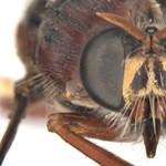 """""""A rovarok világának orvgyilkosai"""" – Marvel-képregényekből kaptak neveket újonnan felfedezett légyfajok"""