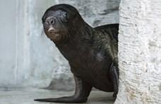 Ráncos, de cuki: fókabébi született a Bécsi Állatkertben