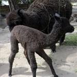 Fényképek a Pesten született alpakacsikóról