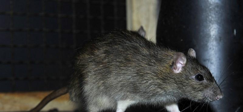 Ijesztő patkányinvázió szakadt egy mianmari sziget lakóira