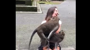 Üldögél a nő, amikor két majom az ölébe toppan és szexelni kezd (videó)