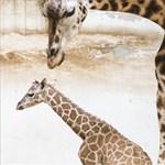 A zsiráfok nemcsak dörmögnek, hanem zümmögnek is
