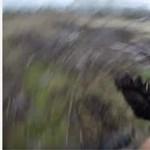 Medve tépett szét egy futót Alaszkában