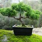 Bonsai fa nevelése otthon - Kicsi növény nagy igényekkel
