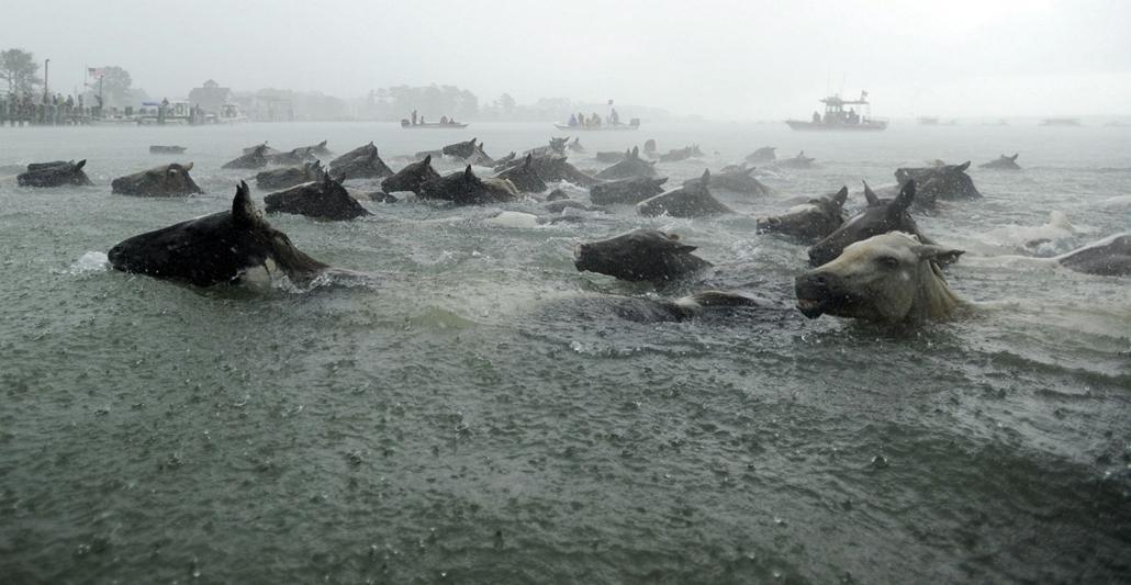 AP!!! augusztus 5-ig!! lóúsztatás - Chincoteague-pónik úsznak az esőben a Virginia állambeli Chincoteague-sziget partjainál 2013. július 24-én. 88 éve minden évben összeterelik a pónikat és átúsztatják őket a csatornán Chincoteague-szigetére, ahol a fiata