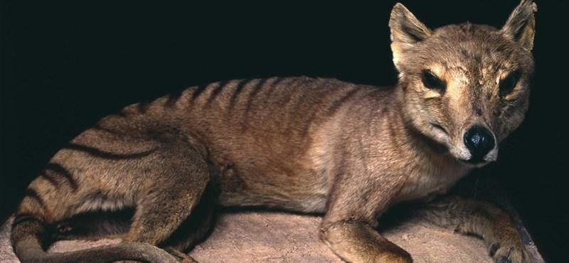 Nem azért halt ki a tasmán tigris, amiért eddig gondolták