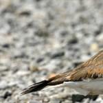 Ez Kanada: egy védett madár miatt csúszhat egy fesztivál