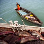 Egyre jobbak a magyar halak