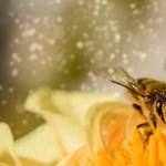Szeretné megóvni a méheket? Fontos tanácsokat ad ingyen az MTA Ökológiai Kutatóközpontja