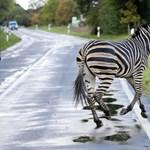 Lelőttek egy német autópályán rohangáló cirkuszi zebrát