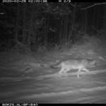 Remek fotó készült a Börzsönyben portyázó farkasról