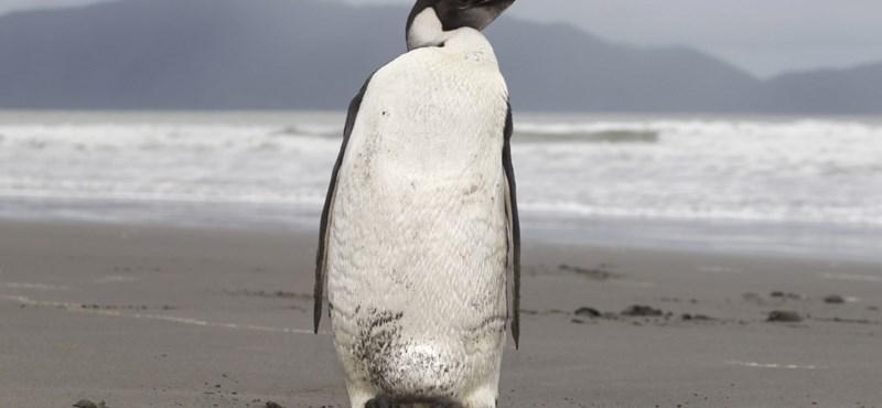 Fotó: visszatérhet a természetbe a világhírű eltévedt pingvin