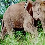 Az amerikaiakat egy elefánt nem engedte edzésre