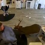 Egy szarvas beugrott egy fodrászszalonba, és ellopta a hajsütő vasat