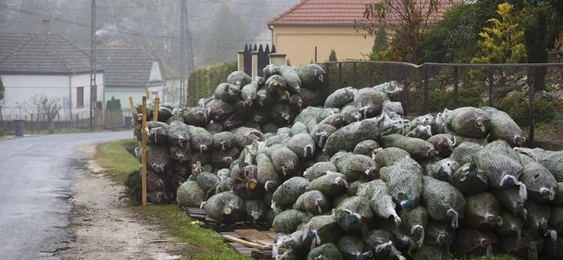 Fotók: Már halomban állnak a karácsonyfák Zala megyében