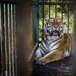 Fogamzásgátlót kap az új debreceni tigris – fotók