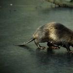 WWF: visszatelepítés nélkül már eltűntek volna a hódok