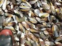 """""""Élve megfőtt"""" félmillió kagyló Új-Zéland partjainál –videó"""