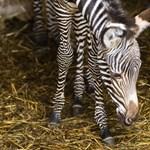 Fotók: Tündéri kiszebra született Nyíregyházán
