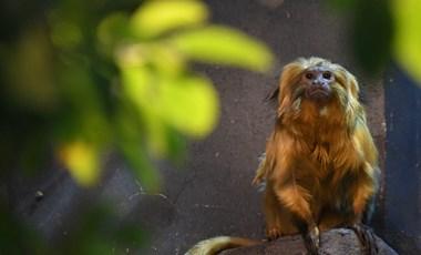 Ha az emberek nem hagyják, az oroszlánmajmocskákat oltják be Brazíliában sárgaláz ellen