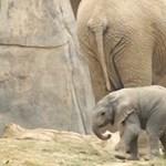 Még alig tudnak járni az elefántbébik, de nem maradnának le a csordától