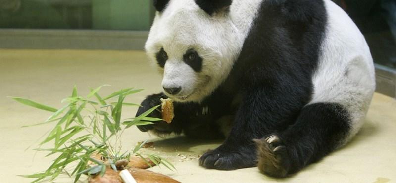 Meghalt a világ legidősebb pandája a berlini állatkertben