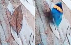 Ez a különleges pillangó egy elszáradt falevélnek álcázza magát