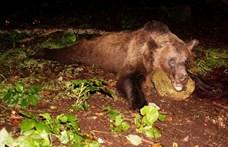 Határon átszökött orosz medvét fogtak Észtországban