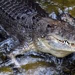 Ortopédiai segédeszközt találtak egy krokodilban. De hogy került bele?