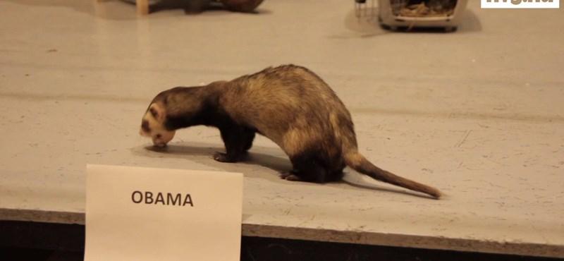 Obama vagy Romney? - döntöttek a budapesti állatok