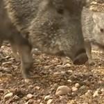 Videó: Igen ritka és ugyanennyire aranyos Chaco-pekarik születtek a prágai állatkertben