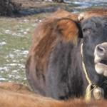 A túlélés egyik módja: amikor a tehén bejelentkezik a céges meetingen