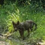 Bármikor belefuthat egy farkasfalkába a Bükkben - videó