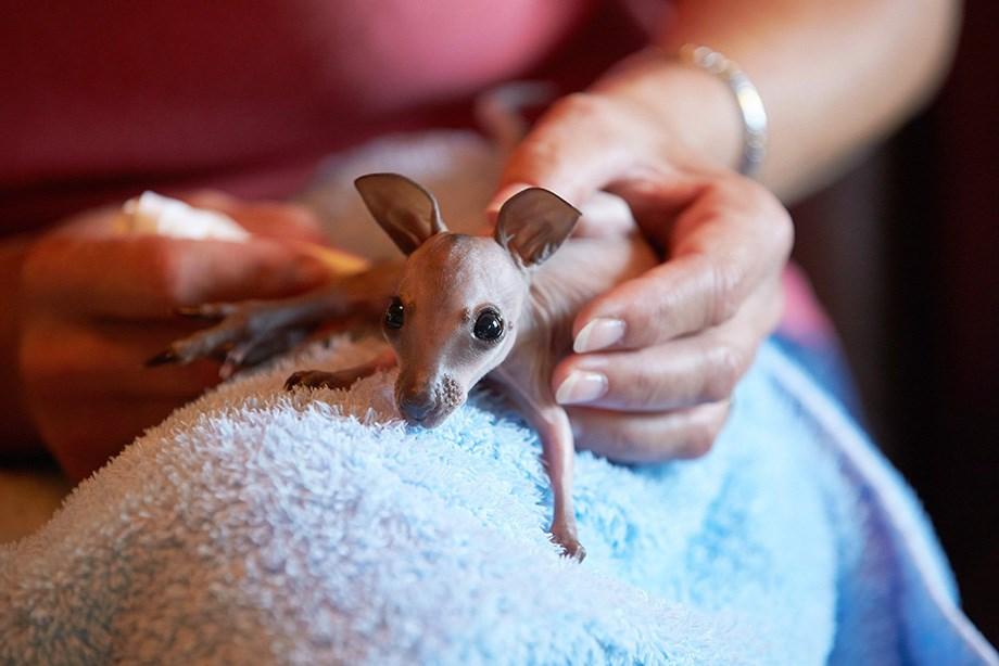 Nap képe: Látott már kengurubébit?