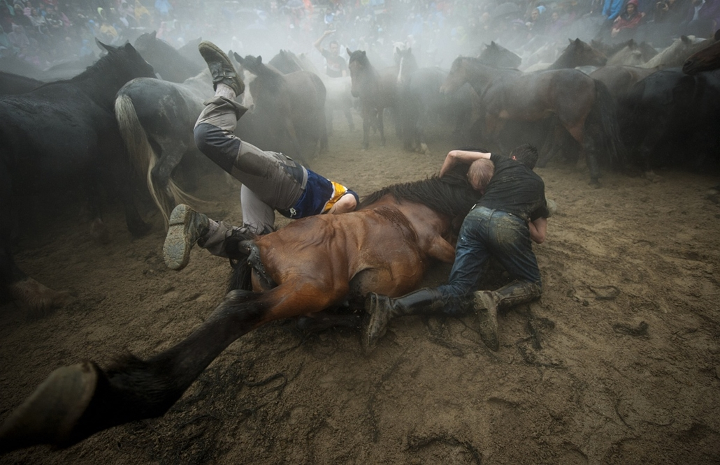 "afp. 2014. állatos nagyítás, ló, lovak, Spanyolország, 2014.07.05. SABUCEDO : Aloitadores (fighters) struggle with a wild horse during the ""Rapa Das Bestas"" (Shearing of the Beasts) traditional event in the Spanish northwestern village of Sabucedo, some 4"