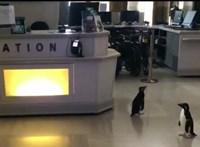 Két pingvin bement a chicagói múzeumba és megnézte a dinoszauruszokat