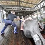 Az elmúlt évek legnagyobb delfinmészárlását hajtották végre