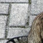 A vikingek is jól tartották a macskáikat, de nem azért, amire gondol