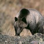 Zsebkésével védte meg magát a grizzlymedvétől