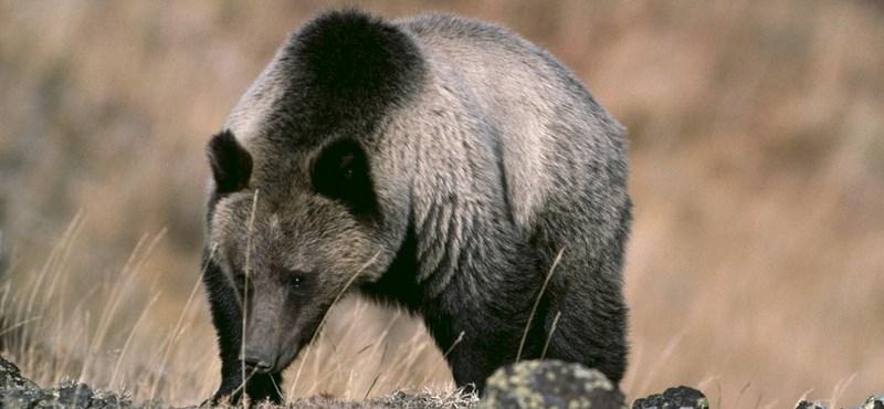 Sül szúrta át a kanadai családot megölő medve gyomrát