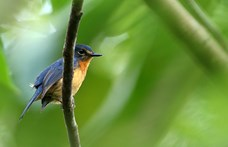 Ötször gyorsabban halnak ki a madárfajok, mint azt eddig gondolták