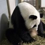 Lun Lun panda csak fiúkat tud szülni