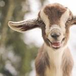 Veszettséget mutattak ki két kecskében Magyarországon