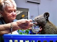 Kipusztulás szélén ausztrál koalák egy része a bozóttüzek miatt