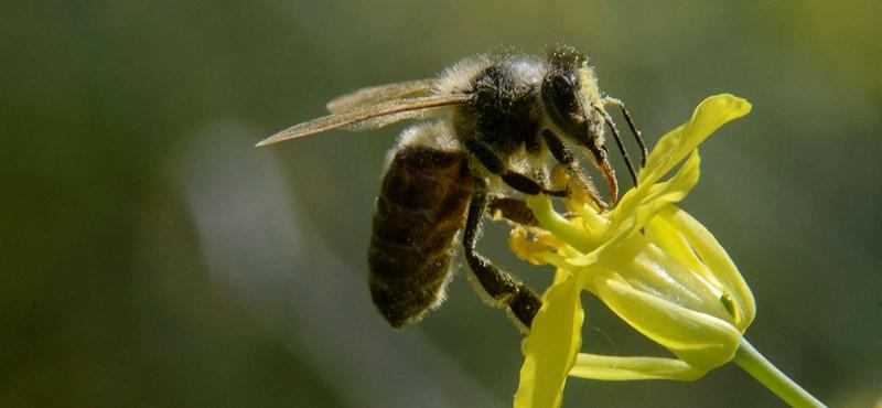 Mi lesz velünk, ha elpusztul minden méh? Tényleg nagy a baj?