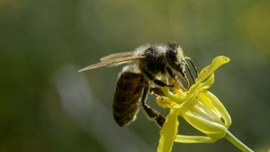 A városban lakókon múlhat, túlélnek-e a méhek